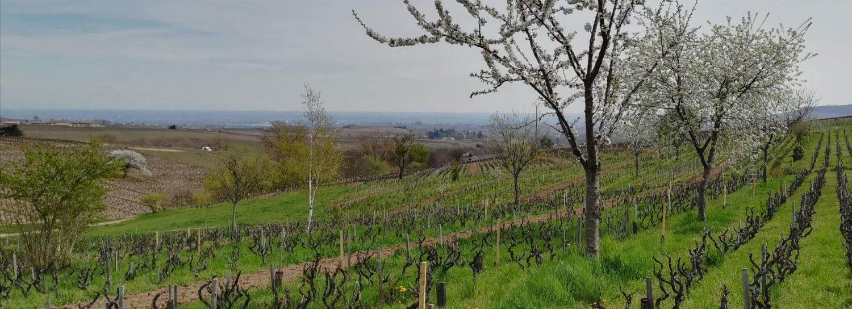 La belle vigne